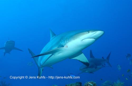 Grauhai - Gray reef shark Honduras Roatan island