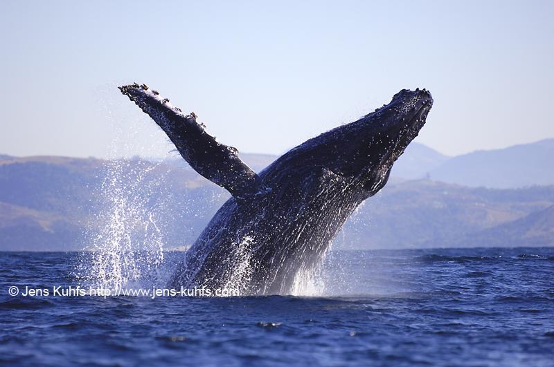 Humpback Whale Buckelwal Sardine Run