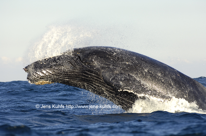 Humpback Whale Buckelwal Sardine Run, Port St. Johns, Wild coast, South Africa