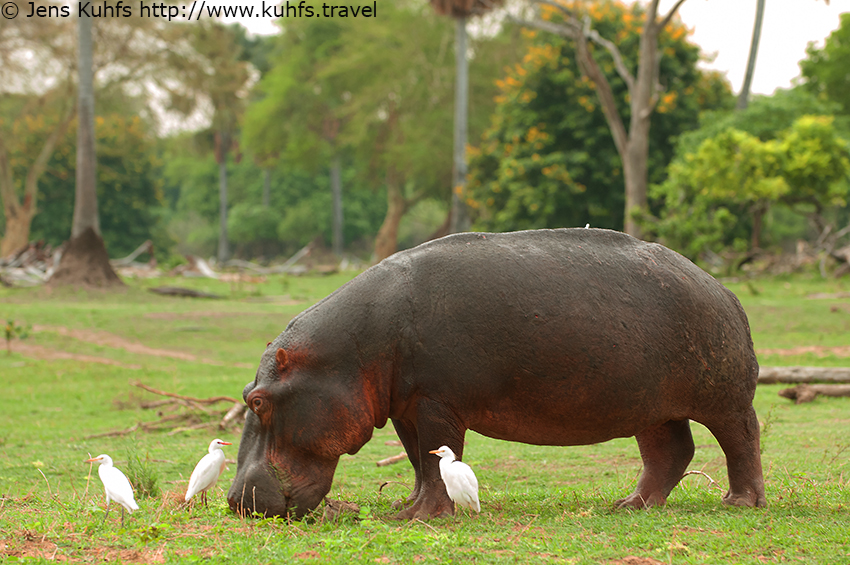 Hippopotamus, Hippo in Liwonde National Park, Mvuu Lodge, Liwonde Wildlife Reserve, Malawi