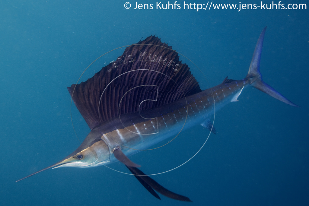 Atlantic sailfish, Istiophorus albicans, Isla Mujeres, Mexico