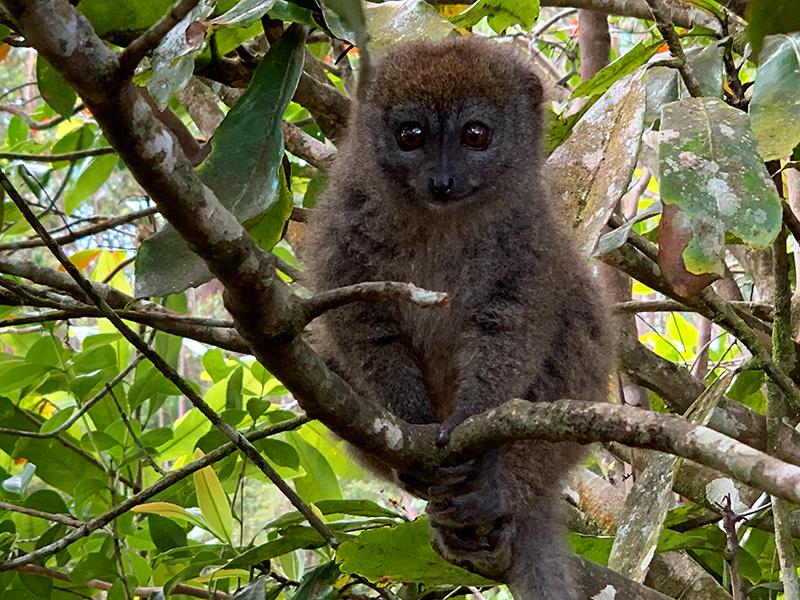 Bamboo Lemur Hapalemur, Lemuridae, Lemur Island, Zahamena National Park, Madagascar