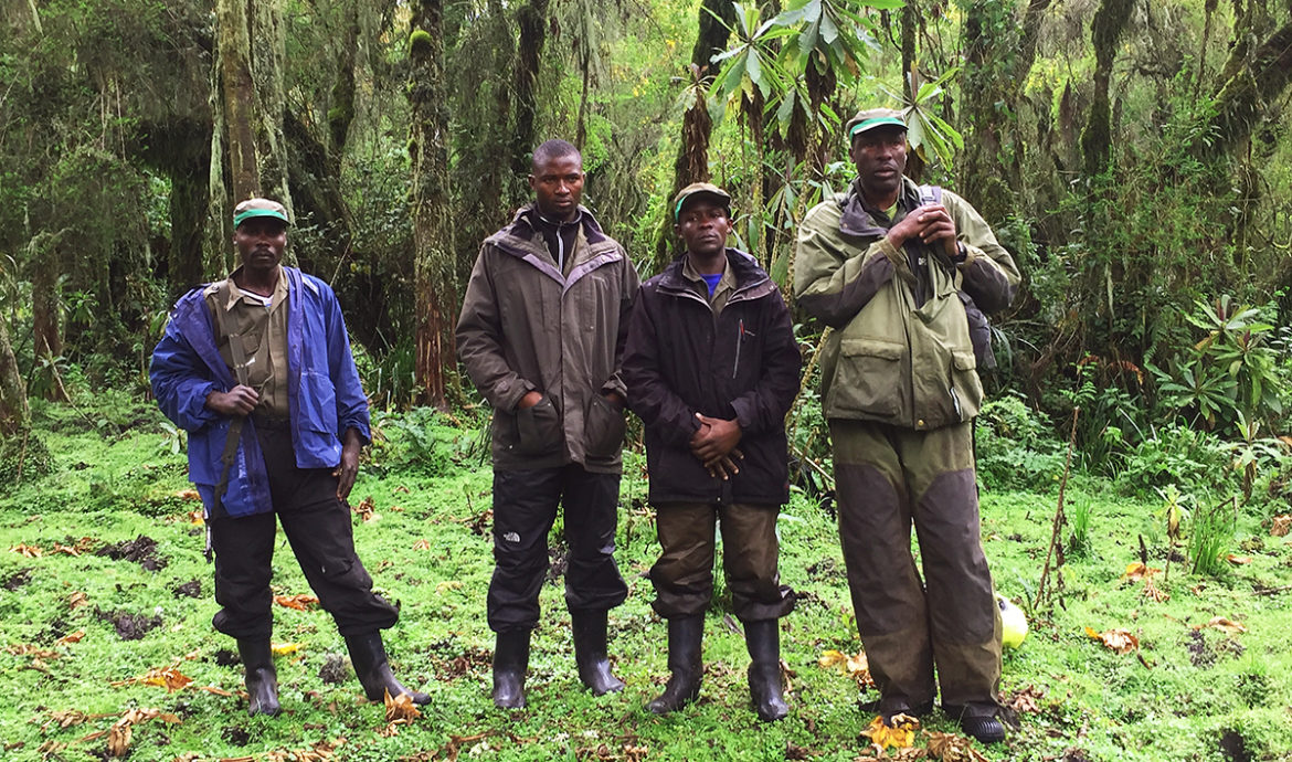 Rangers protect and monitor remaining mountain gorillas, Virunga Volcanic Complex, Parc National Des Volcans - Rwanda