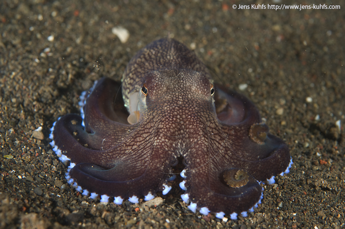 Coconut octopus or veined octopus, Lembeh Strait, Indonesia
