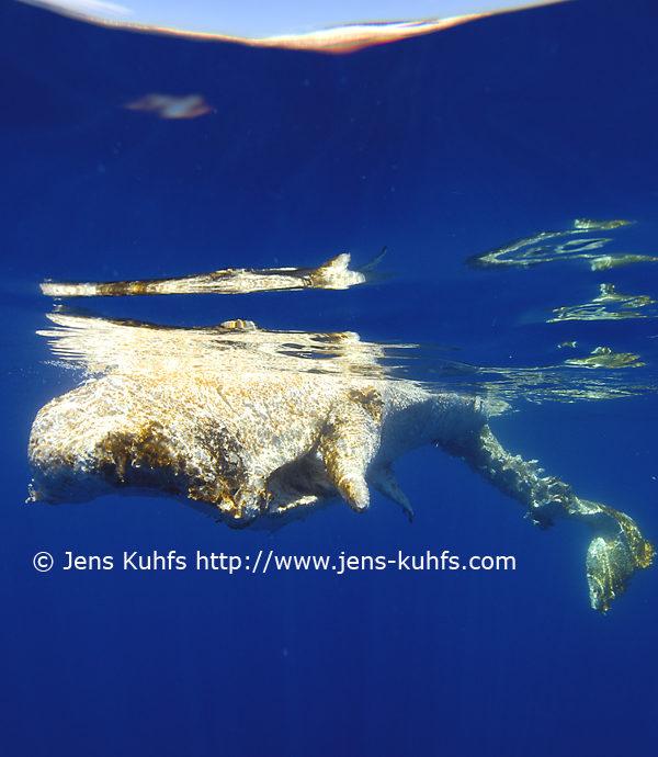 Dead Sperm whale Azores