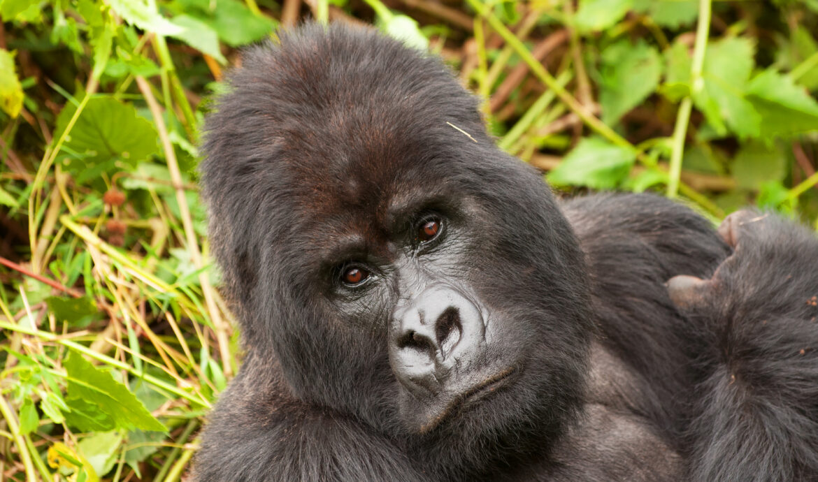 A female mountain gorilla with infant sitting in the brush in Volcanoes National Park, Rwanda